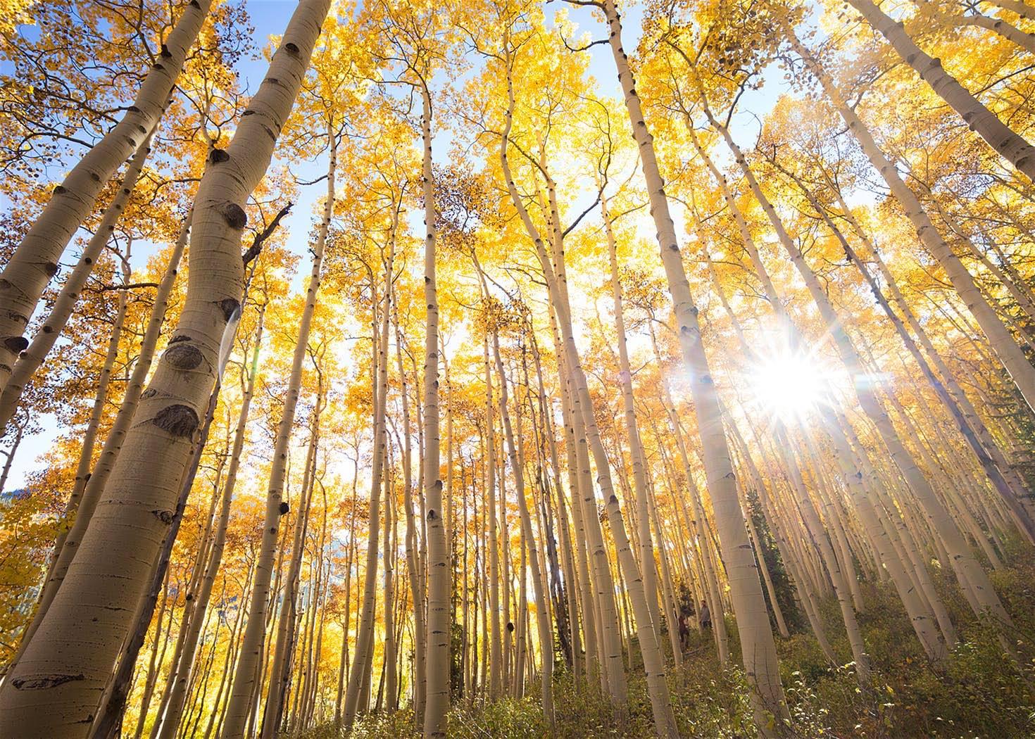 En otoño, la ciudad de las montañas rocosas de Telluride atrae a muchos visitantes y la razón se debe a los álamos dorados de otoño.